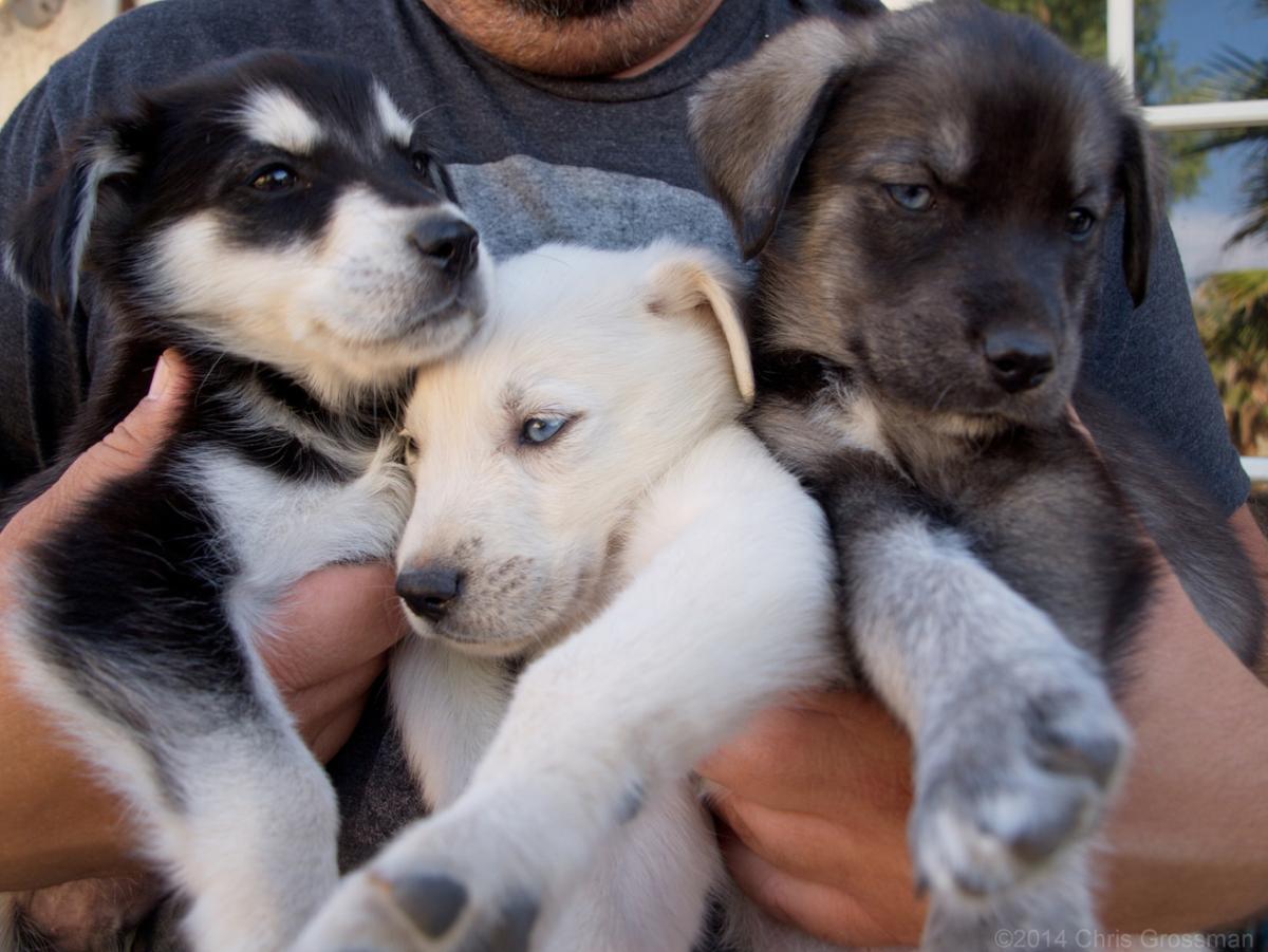 Prendiamo un cane: meglio di razza o meticcio?