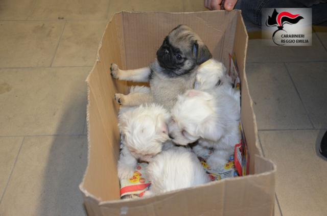 Salvati 24 Cuccioli Di Cani Destinati Al Mercato Clandestino Reporter