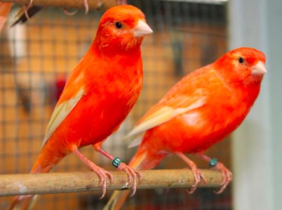 Fiera Ornitologica Internazionale: uccelli da tutto il mondo a Mancasale