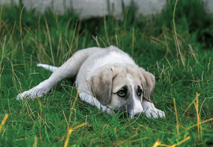 Lo stress indotto dal dolore cronico nei cani